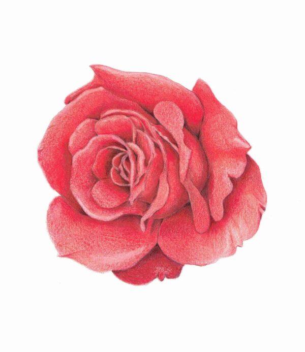 roos workshop bloemen tekenen